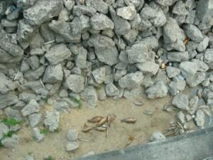 An abbatoir of gar and carp at Granger Dam