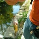 Shoal Creek Fly Fishing Austin | sunfish