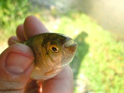 Shoal Creek Fly Fishing Austin | Mexican tetra