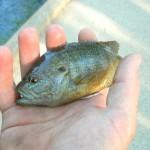 Shoal Creek Fly Fishing Austin | Warmouth