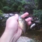 Warmouth in Blunn Creek