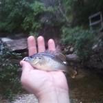 Baby Warmouth at Blunn Creek