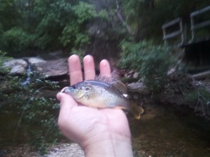 Baby Warmouth at Blunn Creek