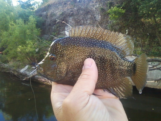Bull cichlid out of Shoal Creek