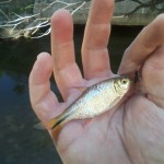 Mexican Tetra from Shoal Creek