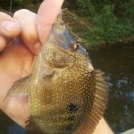 Shoal Creek cichlid