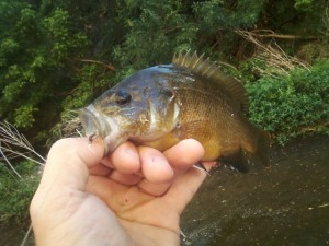Very strong warmouth from Shoal Creek