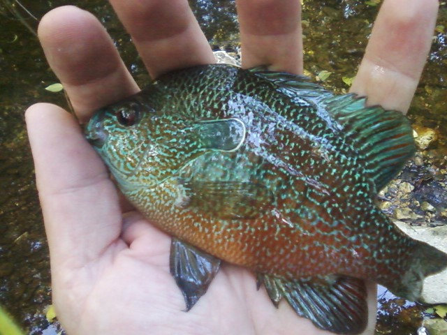 Pumpkinseed sunfish from Waller Creek