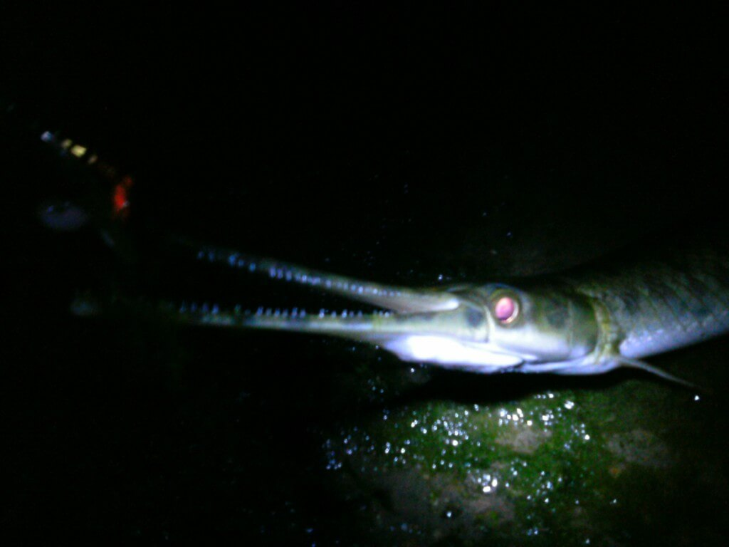 spotted gar at night on colorado river
