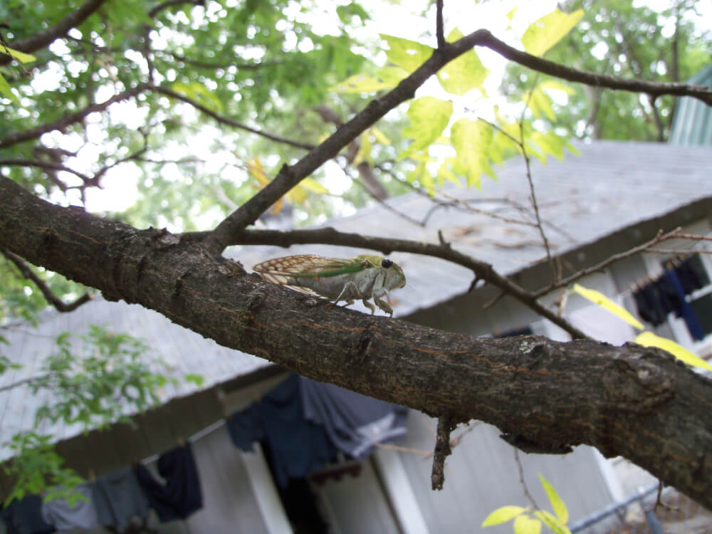 austin cicada