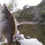 Green sunfish on Bull Creek