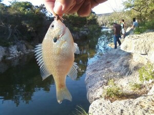 Albino bluegill on beadhead prince nymph