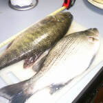 whitebass and largemouth