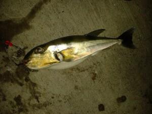 gulfcoastmysteryfish