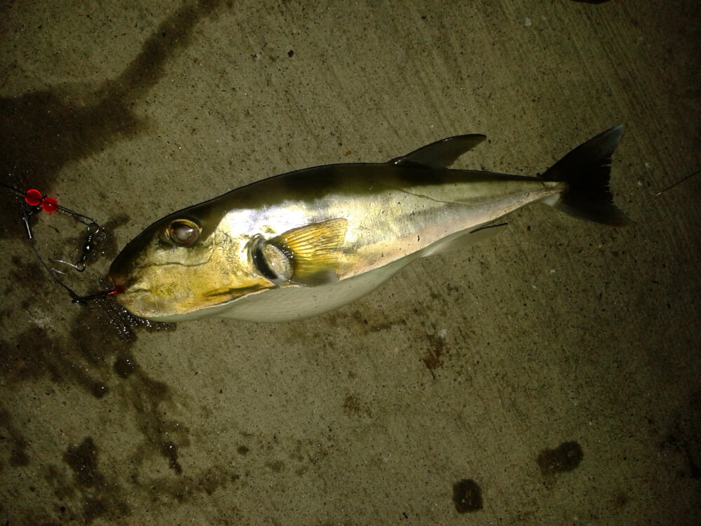 Mysterious fish from texas gulf coast for Texas gulf coast fishing