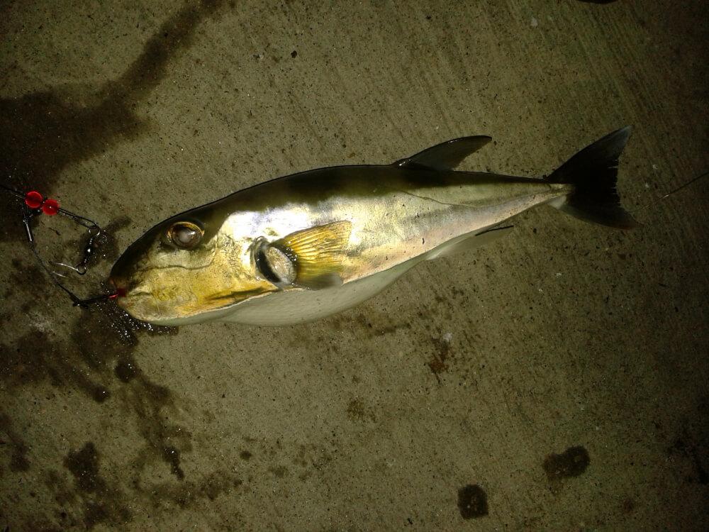 Esteemed country gentleman matthew bey for Gulf coast fish